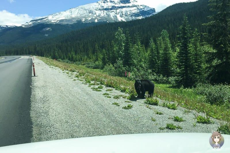 Ein Bär im Westen von Kanada