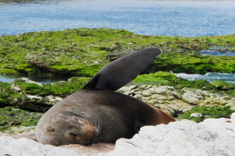 Robbe beim Wandern in Neuseeland