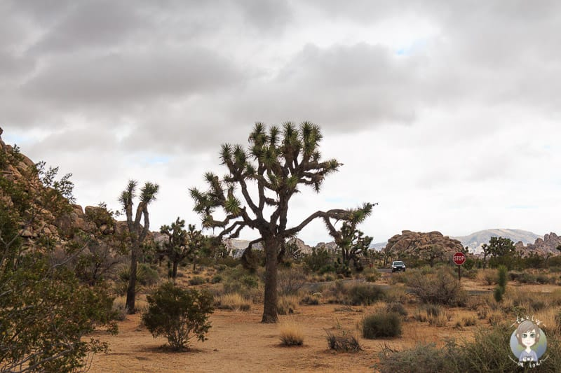 Ein Joshua Tree im National Park