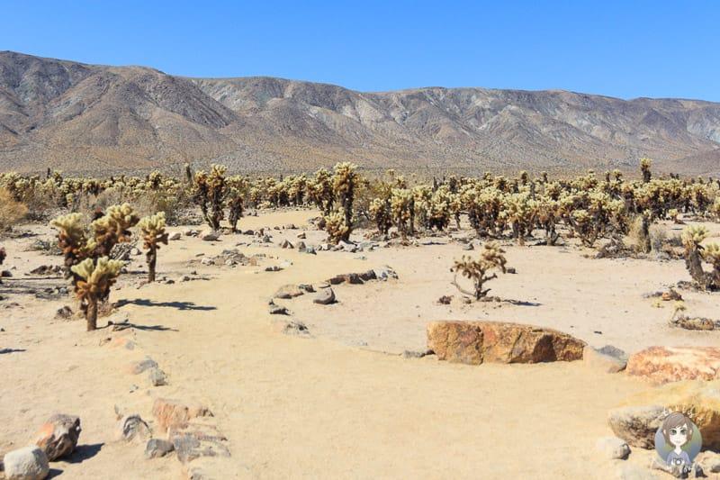 Cholla Cactus Trail Kalifornien