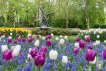 Tulpenblüte im Keukenhof einem Blumenpark in Holland