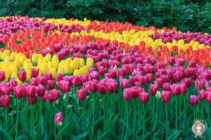 Kunterbunte Tulpen im Keukenhof einem Blumenhof in Holland