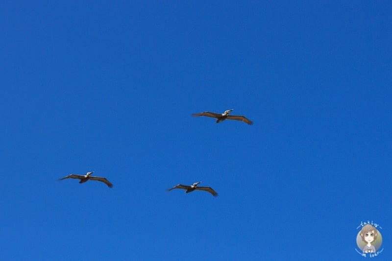 Pelikane Kalifornein