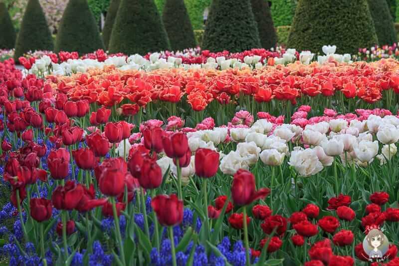 Tulpen in Holland im Blumenpark von Lisse