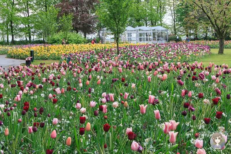 Tulpen in Holland im Garten vom Keukenhof