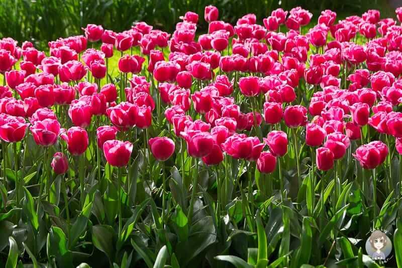 Tulpenblüte in Holland im Keukenhof erleben