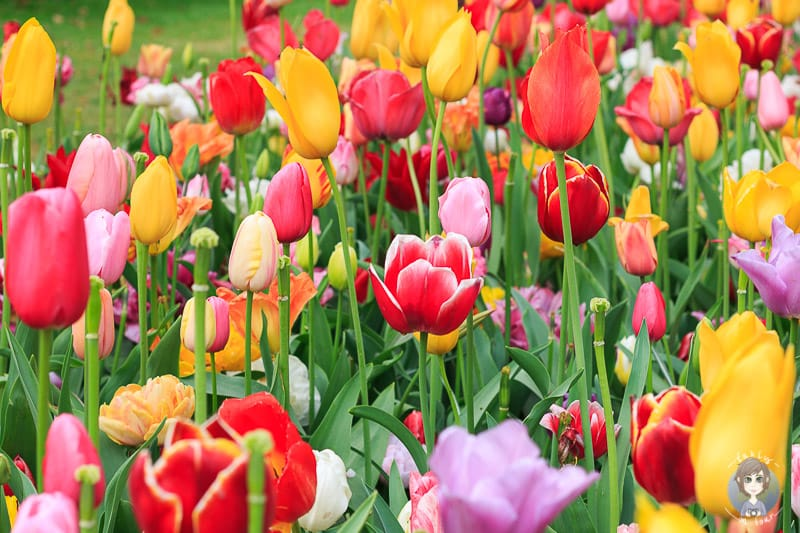 bunte Blumen im Tulpenpark in Holland