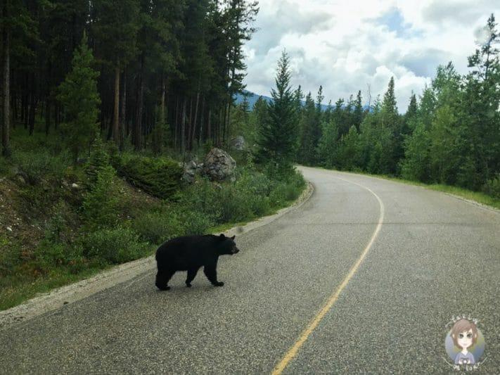 Ein Bär auf dem Icefields Parkway in Kanada