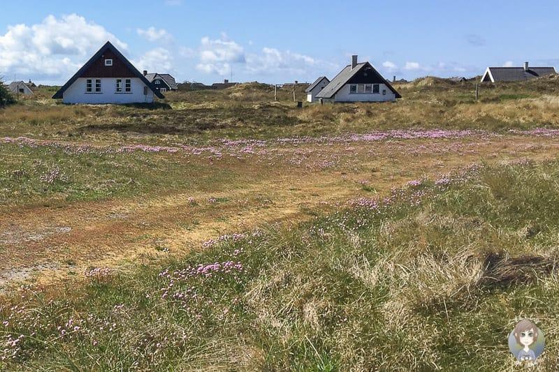 Blumen am Nordseeküstenradweg in Dänemark