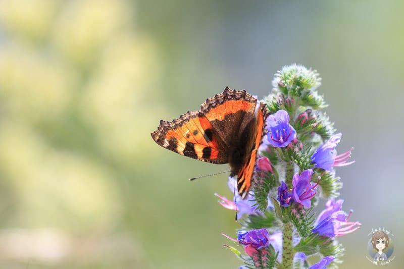 Schmetterling am Gorges-de-la-Loire Viewpoint