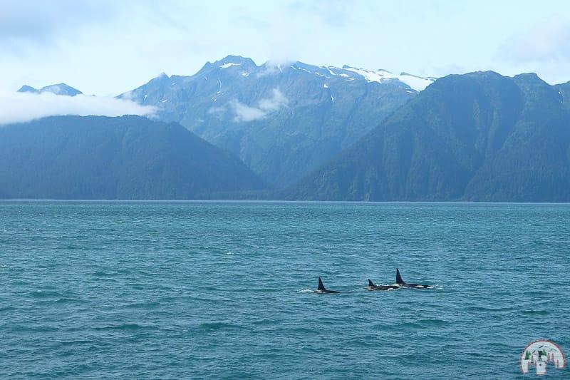 Orcas im Golf von Alaska bei Seward