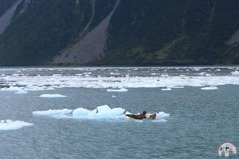 Robben nahe Seward in Alaska