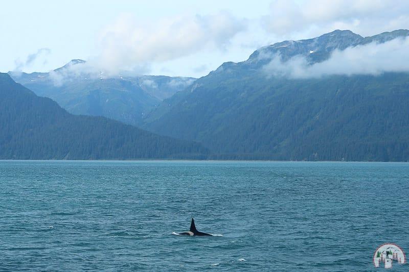 Transient Canadian Orca nahe Seward in Alaska