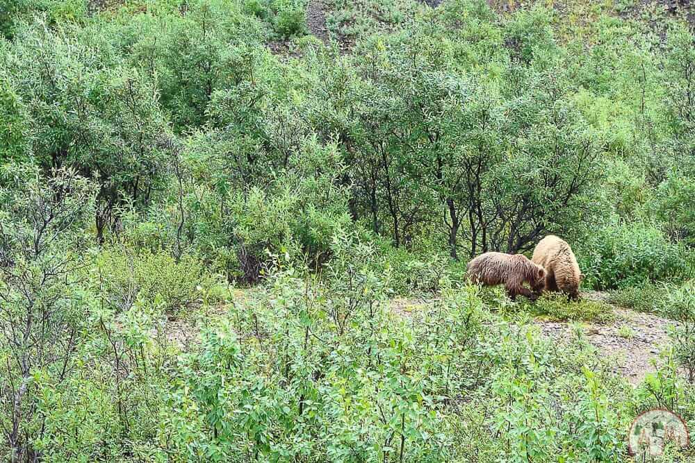 Grizzlybären auf einer Denali Nationalpark Bustour