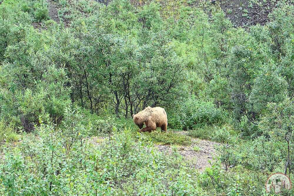 Grizzyl fotografieren im Denali Nationalpark