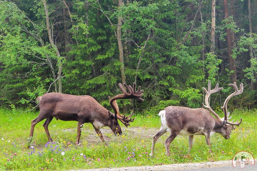 Rentiere auf einem Roadtrip durch Schweden